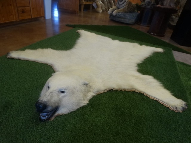 Mount Polar Bear Rug Legal With Paperwork Taxidermy